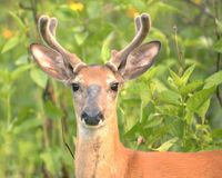 Young Whitetail Buck 1 Stock Image