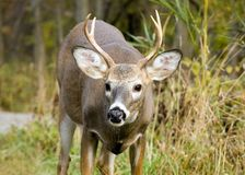 Young Whitetail Buck Royalty Free Stock Images