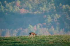 Young whitetail buck Stock Image