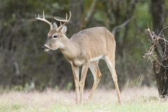 Young whitetail buck with jaw infection. In Texas stock photos