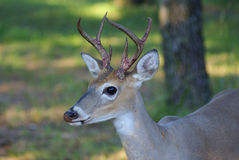 Young whitetail buck after losing velvet Royalty Free Stock Photo