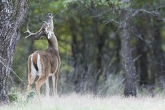 Young whitetail buck making a scent marking. On overhanging branch royalty free stock photography