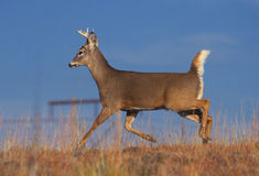 Young Whitetail Buck Running Stock Photography