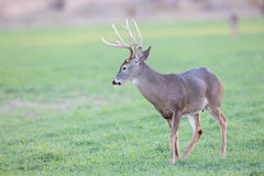 Young whitetail buck standing in wheat field Royalty Free Stock Photography