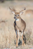 Young whitetail buck in vertical photograph Stock Photo