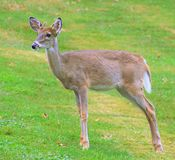 Young Whitetail Buck Stock Photography