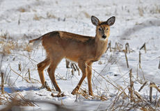 Young Whitetail Deer. A young white tail deer searches for food in the winter stock photo