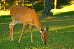 Young Whitetail Deer Stock Images
