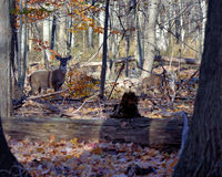 Young Whitetail Deer Buck Stock Images