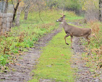 Young Whitetail Deer Buck Royalty Free Stock Image