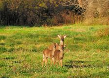 Young Whitetail Deer Buck Stock Image
