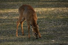 Young Whitetail Deer Eating Royalty Free Stock Image