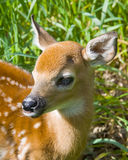 Young Whitetail Deer Stock Photography