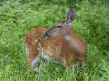 Young whitetail deer female in a wild Stock Photo