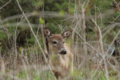 Young Whitetail deer standing alone in brush royalty free stock photography