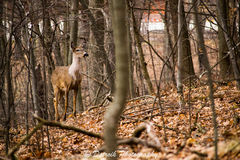 A young whitetail deer. Royalty Free Stock Photo