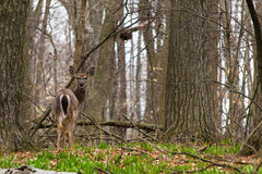 A young whitetail deer. A young whitetail deer in the wild stock photos