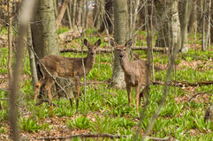 A young whitetail deer. Stock Photography