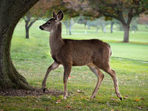 Young Whitetail doe. Young deer walking  delicately on the golf course, large trees in the background Royalty Free Stock Image