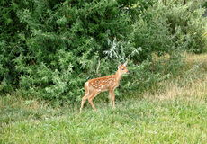 Young Whitetail Fawn deer Royalty Free Stock Images