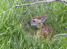Young whitetail fawn Stock Images