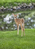 Young whitetail fawn Royalty Free Stock Photos