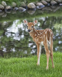 Young whitetail fawn Stock Image