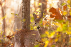 Free Young Whitetailed Deer Doe Stock Images - 80087524
