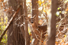 Young Whitetailed Deer Doe Stock Photography