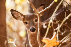 Young Whitetailed Deer Doe Royalty Free Stock Image