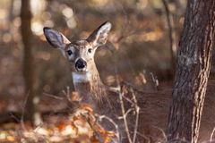 Young Whitetailed Deer Doe Stock Image