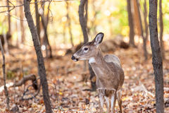 Young Whitetailed Deer Doe Royalty Free Stock Photography