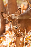 Young Whitetailed Deer Doe Stock Photos