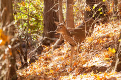 Young Whitetailed Deer Doe Royalty Free Stock Photos