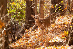 Young Whitetailed Deer Doe Stock Photo
