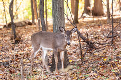 Young Whitetailed Deer Doe Stock Images