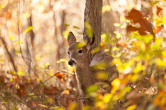 Young Whitetailed Deer Doe Royalty Free Stock Images