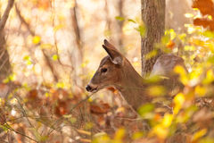 Young Whitetailed Deer Doe Royalty Free Stock Photo