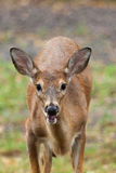 Young Whitetailed Deer Stock Photography