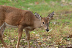 Young Whitetailed Deer Stock Images