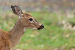 Young Whitetailed Deer Royalty Free Stock Photography