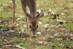 Young Whitetailed Deer Royalty Free Stock Photos