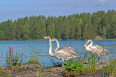 Young whooper swans Stock Photos