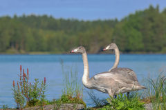 Young whooper swans Royalty Free Stock Photo