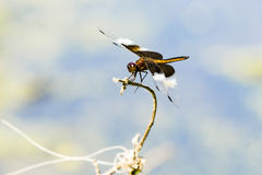 Young Widow Skimmer Dragonfly Royalty Free Stock Images