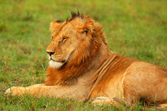 Young wild african lion Stock Images