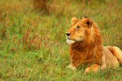 Young wild african lion. Africa. Kenya. Masai Mara royalty free stock photo