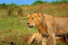 Young wild african lion Royalty Free Stock Photography