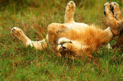 Free Young Wild African Lion Playing Stock Photos - 13974803