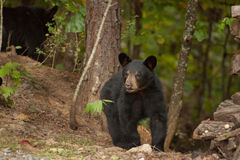 Young wild bear Royalty Free Stock Photography